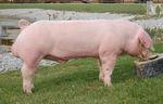 Sus_scrofa_domestica_breed_Landrace