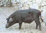 Sus_scrofa_domestica_breed_Tibetan