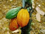 Theobroma_cacao_cultivar_Matina_1_6