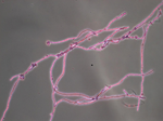 Thermothelomyces_thermophila