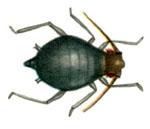 Toxoptera_citricida