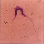 Trypanosoma_theileri