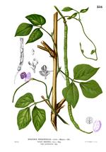 Vigna_unguiculata_subsp__sesquipedalis