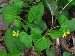 Viola_pubescens_var__scabriuscula