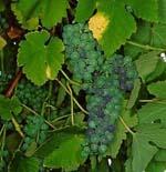 Vitis_vinifera_cultivar_Rkatsiteli