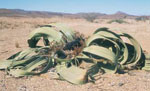 Welwitschia_mirabilis