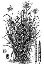 Zea_mays_subsp__mexicana_cultivar_TEO