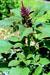 Amaranthus_hypochondriacus_cultivar_Plainsman