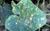 Corynespora_cassiicola_ccam1