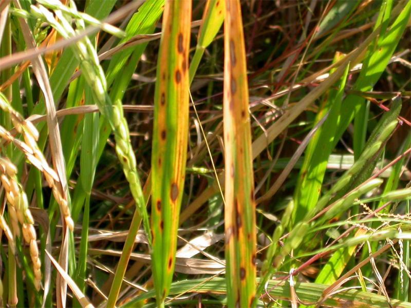 taxonomie helminthosporium oryzae)
